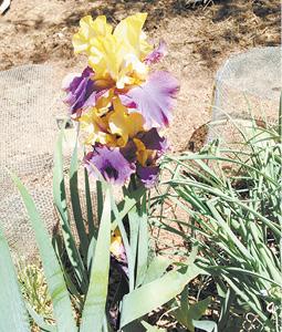 iris 4 photo.tif
