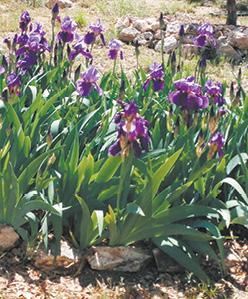 iris 3 photo.tif