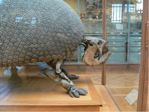 Glyptodon_asper_skeleton_side.jpg